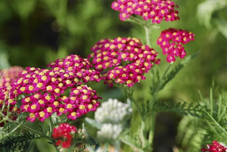 Krwawnik pospolity (Achillea millefolium) 'Paprika'