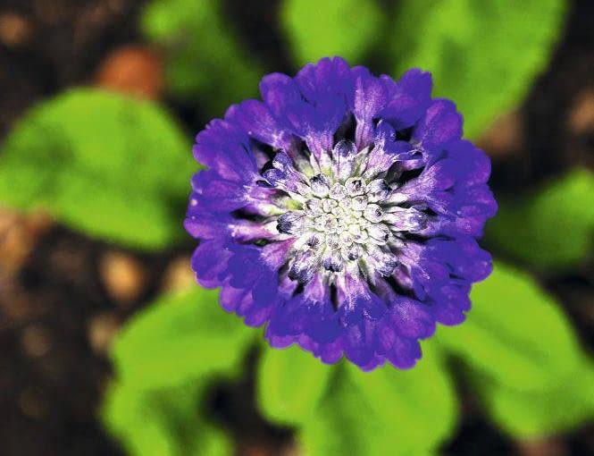 PIERWIOSNEK GŁÓWKOWATY (Primula capitata) kwitnie w maju i czerwcu. Osiąga 15-25 cm wysokości. Lubi słońce.
