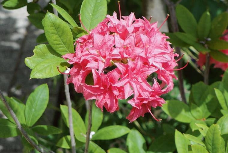 Azalia wielkokwiatowa - Rhododendron 'Homebush'