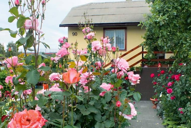 Naszych gości już od furtki wita szpaler dorodnych róż.