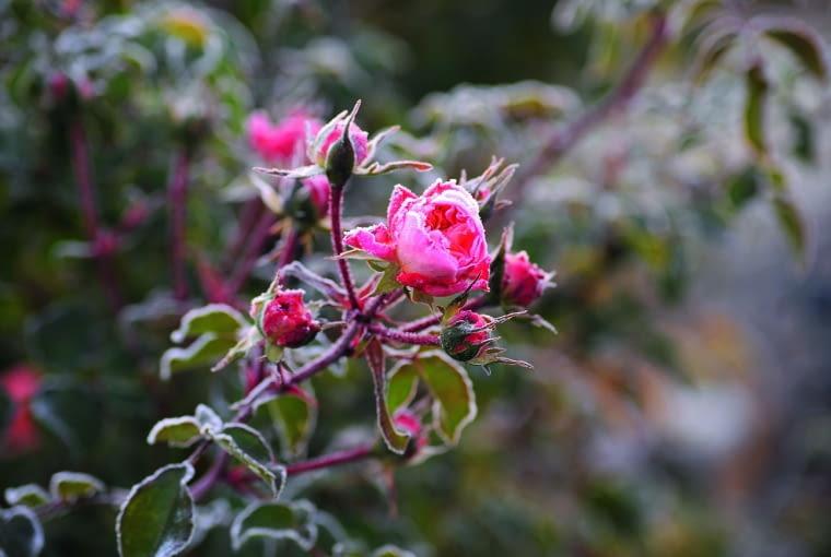 Malowane szronem róże mają także sporo uroku.