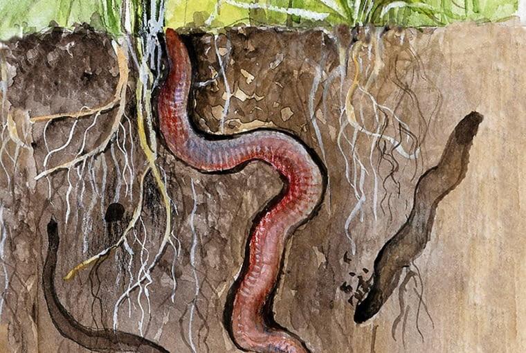 KANALIKI wydrążone przez dżdżownice pozwalają na dobre napowietrzenie gleby i korzeni roślin.