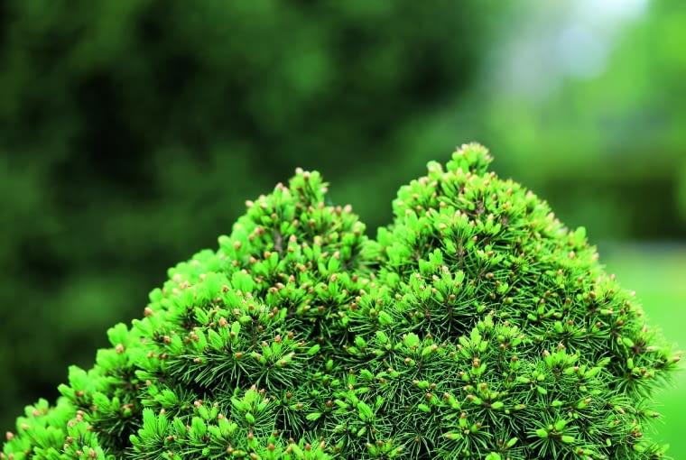 Świerk biały (Picea glauca) 'Laurin'
