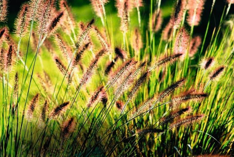 ROZPLENICA JAPONSKA ( PENNISETUM ALOPECUROIDES ) - TRAWA OZDOBNA , PUSZYSTE KWIATOSTANY FOT. LILIANNA SOKOLOWSKA PUBLIKACJA MAGNOLIA NR 9 (5) - 9 2012 SLOWA KLUCZOWE: OGROD ROSLINA TRAWA OZDOBNA ZDJĘCIE DO WKŁADKI: PUBLIKACJA MAGNOLIA NR 9 (5) - CZASOPISMA