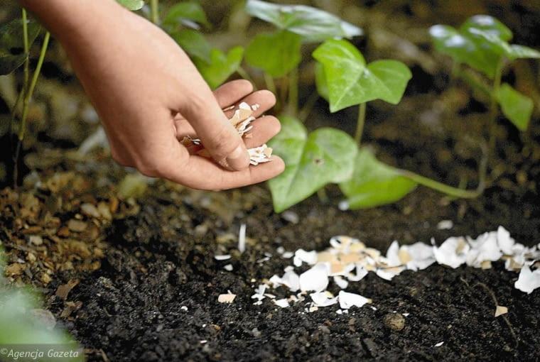 Jak za darmo odstraszyć ślimaki ? Pojedyncze rośliny można chronić przed ślimakami poprzez umieszczanie wokół nich przeszkód, przez które ślimaki nie będą umiały się przedostać. Można je obsypać np. trocinami, korą, igłami sosnowymi, utłuczonymi drobno skorupkami jaj, żwirem