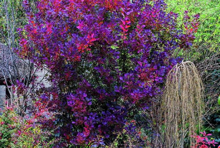 Uroczy perukowiec 'Royal Purple' o czerwonych liściach to roślina odporna na suszę i efektowna od wczesnej wiosny do poźnej jesieni.