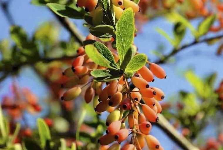BERBERYS 'RED TEARS' to mieszaniec bardzo obficie owocujący. Osiąga 2 m wysokości. Jego długie pędy przewieszają się malowniczo