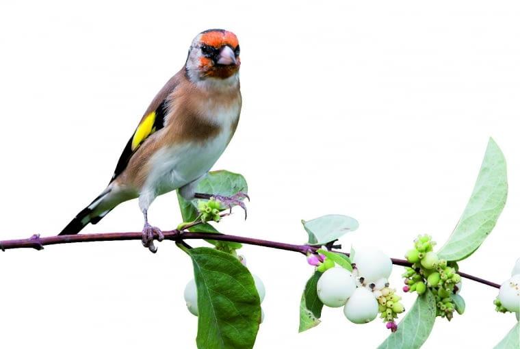 Nasionami śnieguliczek żywią się ptaki. Jesienią wydziobują je zowoców szczygły (na zdjęciu), azimą kosy, dzwońce, wróble imazurki zbierają je zziemi. Kulkami, które rozdeptywane głośno pstrykają, lubią bawić się dzieci. Ale uwaga, owoce śnieguliczek są trujące! Zjedzone powodują mdłości imajaczenie.