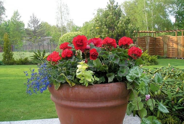 Czerwień wstonowanej oprawie - czerwona pelargonia, niebieska lobelia, jasnota osrebrzystozielonych liściach ilimonkowe pędy kokocanki.OLYMPUS DIGITAL CAMERA
