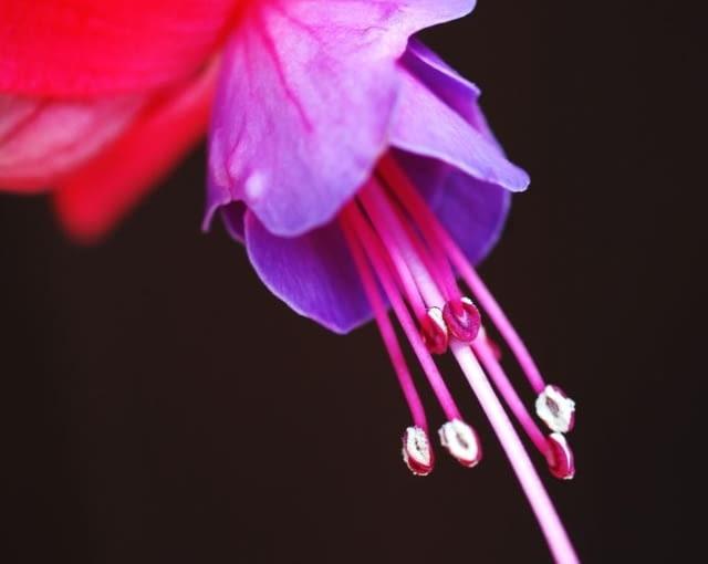 fuksja, roślina ogrodowa, roślina do donic