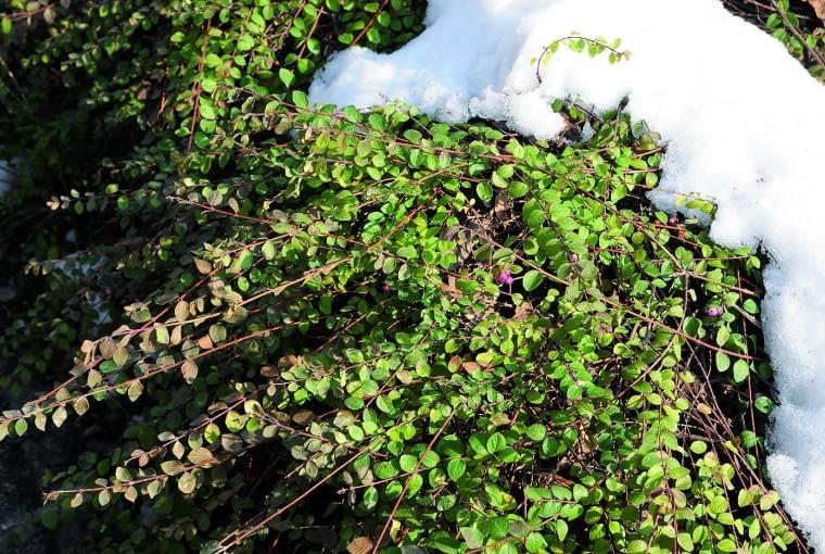 Śnieguliczka Chenaulta 'Hancock' (S. ×chenaultii) tworzy gęste krzewy o ładnie przewieszających się gałązkach, dorastające do wysokości 1 m i osiągające szerokość 1,5 m. Ich zielone liście utrzymują się na gałęziach aż do większych mrozów. Nieliczne fioletoworóżowe owoce są mało efektowne. Krzew jest wytrzymały. Stosuje się go do osłaniania, np. nasypów. Jeśli nieco przymarznie, łatwo odrasta.