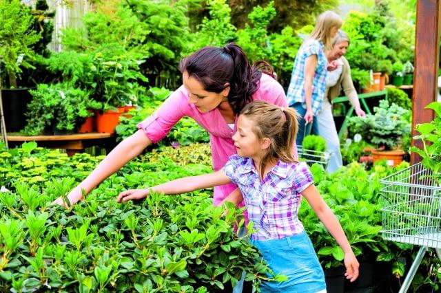 Wybierajmy rośliny w dobrej kondycji: bez plam i przebarwień, bez uszkodzeń mechanicznych oraz objawów więdnięcia - zdrowe, żywotne i dorodne.