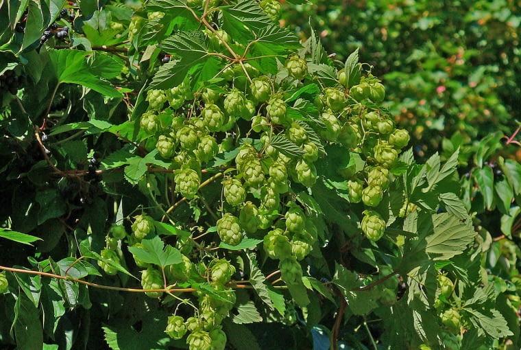 Owocki chmielu, zwane szyszeczkami sa surowcem zielarskim tej byliny