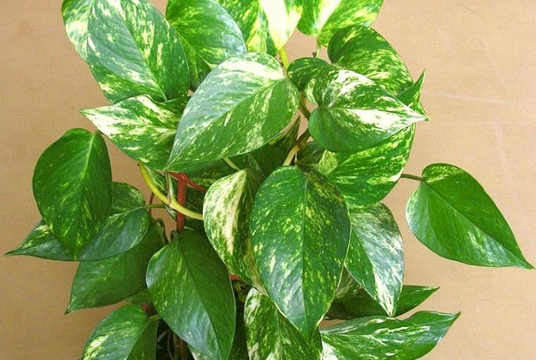 Pnącze o nazwie epipremnum (Epipremnum Aureum), zwane dawniej scindapsusem, nie sprawi kłopotu nawet początkującemu miłośnikowi roślin i może rosnąć w głębi pokoju.