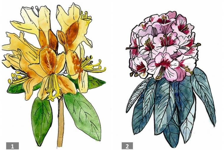 azalia i różanecznik - kwiaty