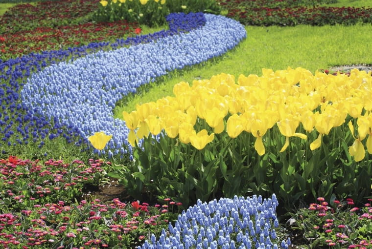 Tulipany (Tulipa) przycupnęły nad strumieniem z szafirków (Muscari).
