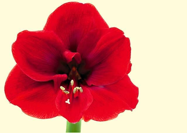 Dzięki ogromnym, prawie okrągłym płatkom, kwiaty tej odmiany osiągają około 15 cm średnicy