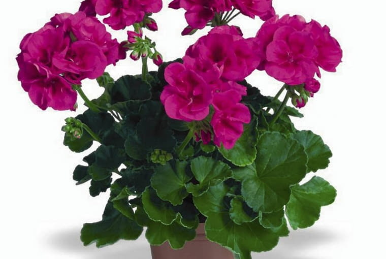 Pelargonia rabatowa 'Flower Fairy Violet'