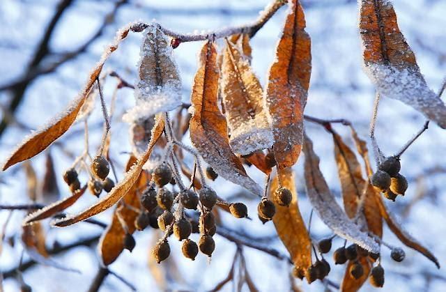 Poczciwa lipa też ma się czym pochwalić - gdy brakuje liści, podziwiamy jej zebrane w pęczki orzeszki opatrzone skrzydełkami