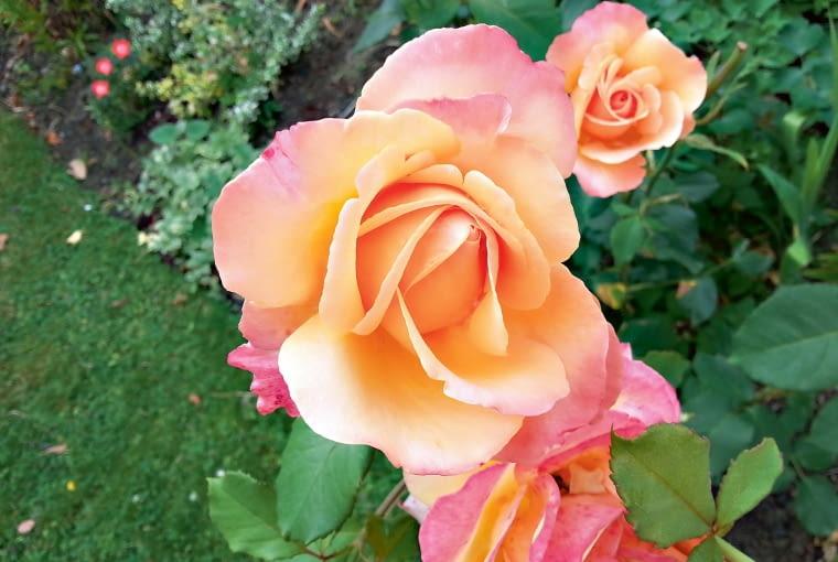 'Lolita' urzeka pięknym odcieniem kwiatów iowocowym zapachem.
