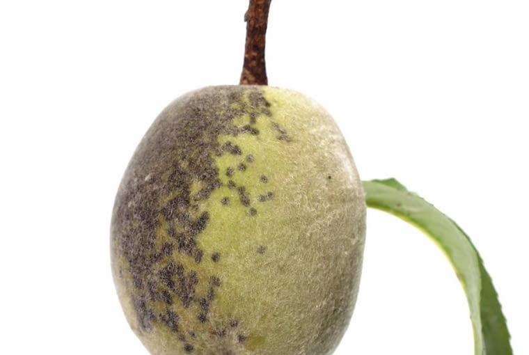 Parch brzoskwiniowy na niedojrzałym owocu