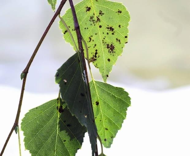 Antraknoza (plamistość liści brzozy) - choroba grzybowa