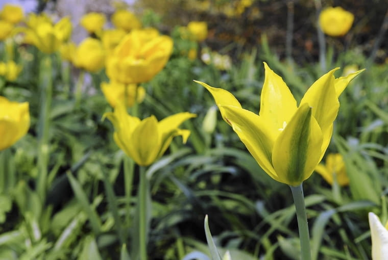 ZDJĘCIE DO WKŁADKI: Dry Bulbs & Springflowering bulbs