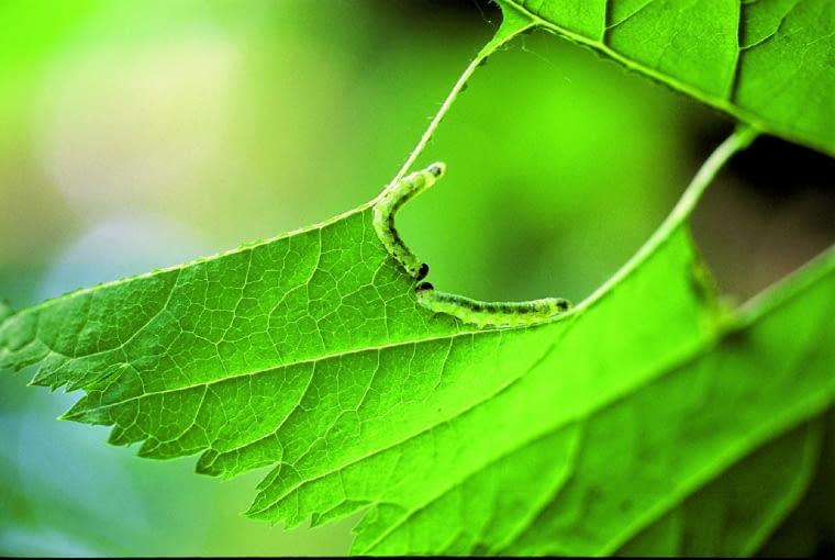 dziury i zielone gąsienice na liściach- zwójka różóweczka.