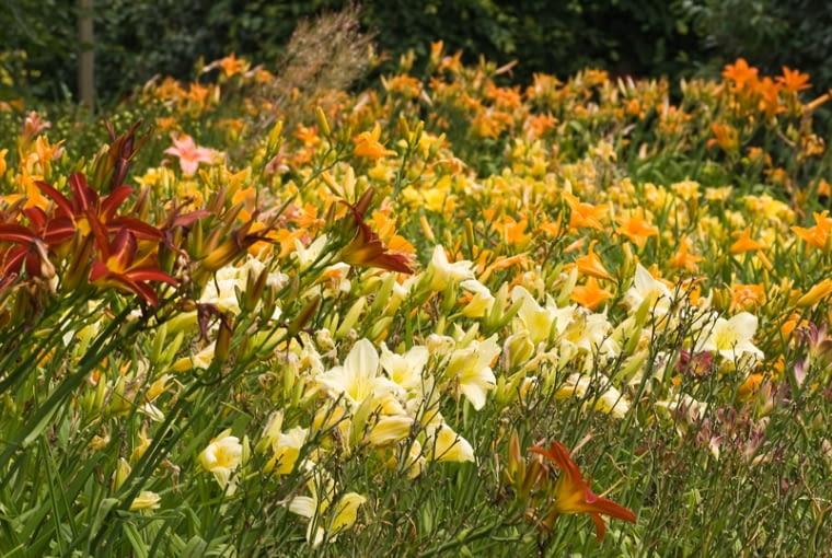 Liliowce (Hemerocallis), długowieczne byliny, odporne byliny