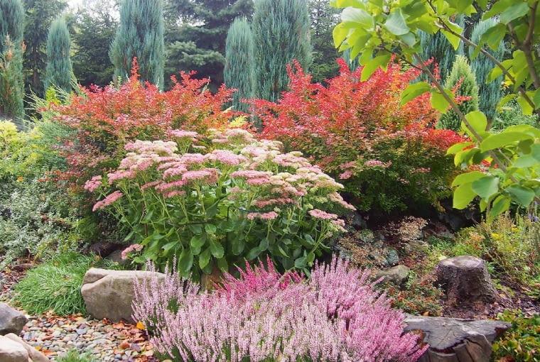 Jesienią na skalniaku pysznią się wrzosy, rozchodniki iberberysy. Ich wspaniałe nasycone kolory są wtedy największą ozdobą ogrodu.