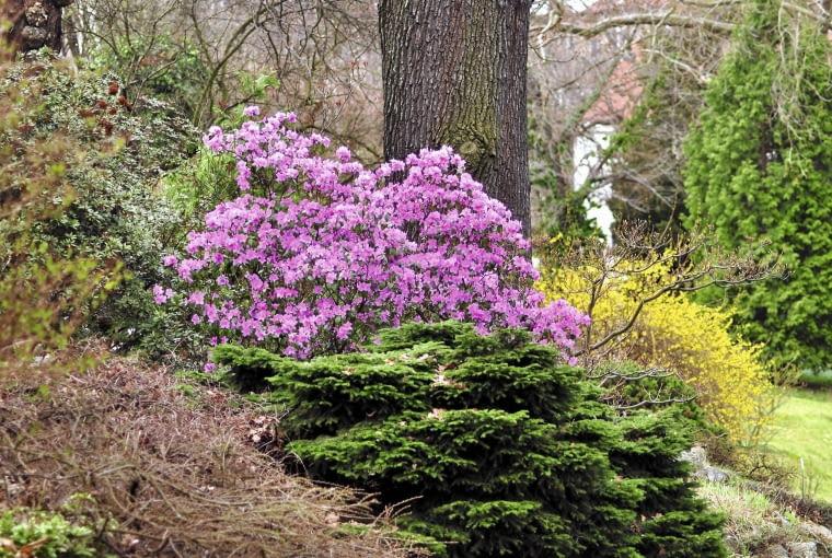 W marcu większość roślin w ogrodzie jeszcze śpi. Kwitnący różanecznik doda mu życia i koloru