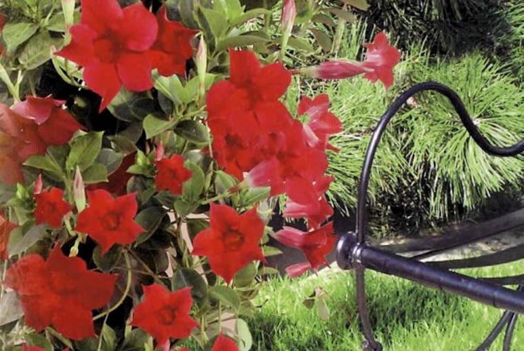 Sundaville, dipladenia, mandevilla, kwiaty balkonowe
