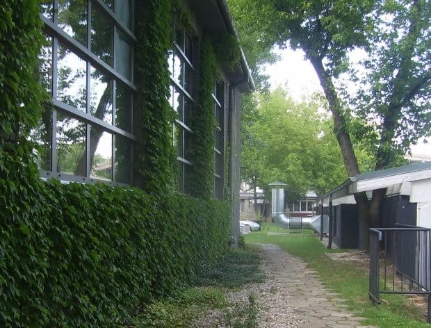 Co brzydsze mury zakrywa winobluszcz japoński