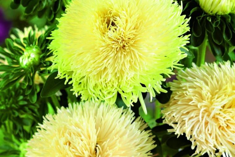 Odmiana igiełkowa 'Pavlova Yellow'