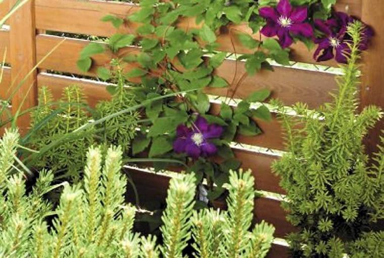 Projekty ogrodów. Mały ogród jak nastrojowy obraz. Pnące rośliny (tu: powojniki) i karłowe odmiany iglaków zadowolą się niewielką przestrzenią