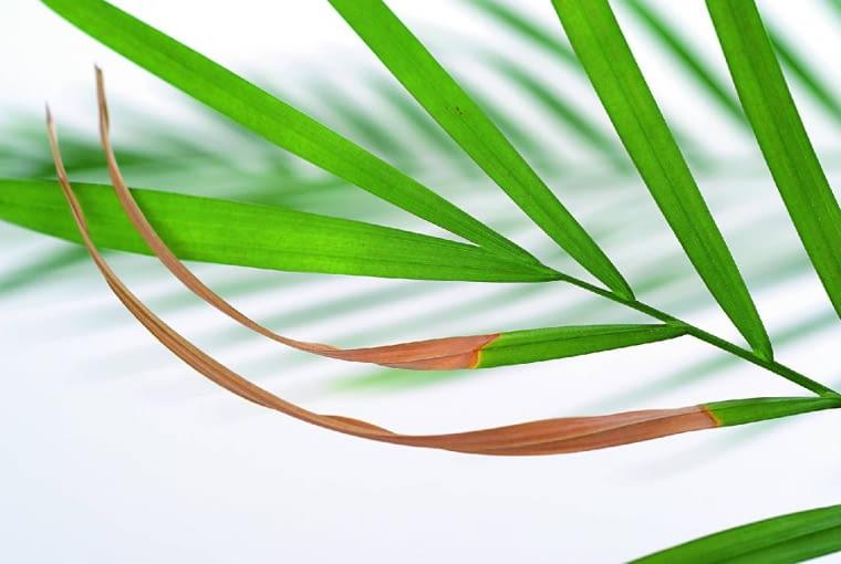 Końcówki liści palmy zasychają i się kruszą. Przyczyna: zbyt mała wilgotność powietrza.