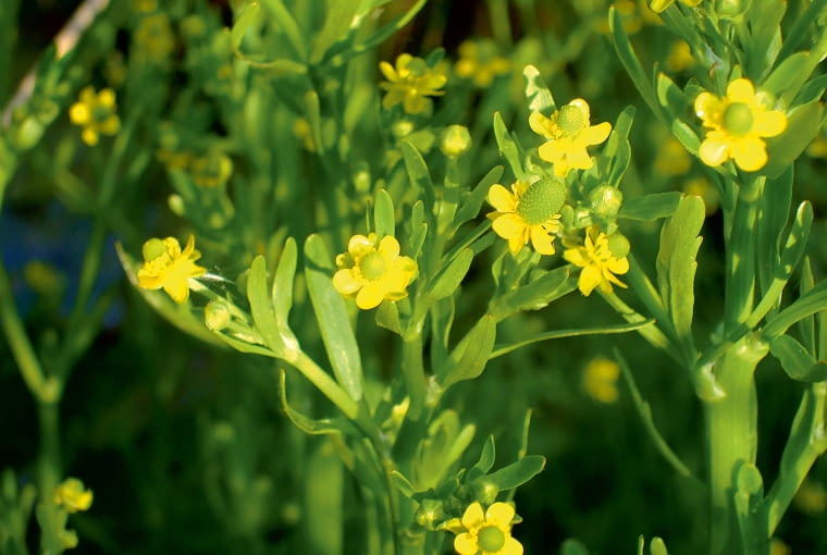 Jaskier jadowity (Ranunculus scleratus)