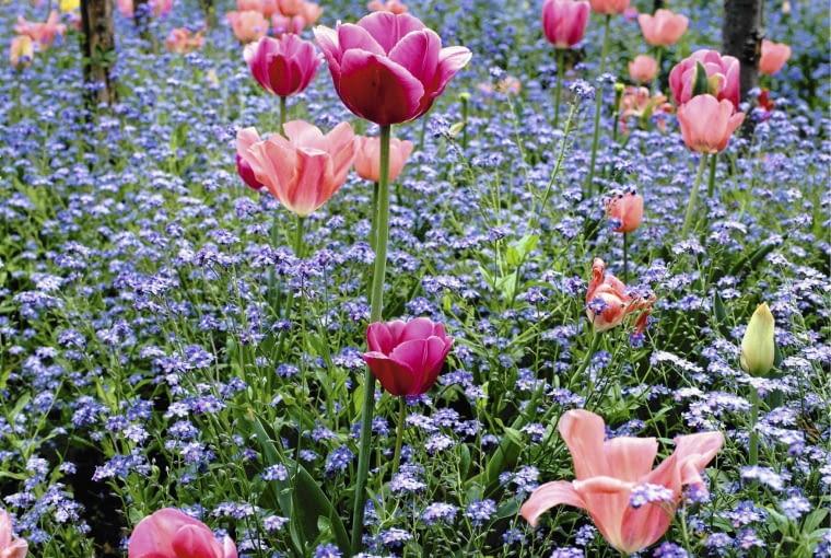 Tulips and Forget-me-not's at Monet's Garden at Giverny SLOWA KLUCZOWE: Blume Farbe Frankreich Fr´hling Myosotis Tulpe Tulpen Vergi?meinnicht blau cerise cottage garden pink rosa tulipa quadratisch