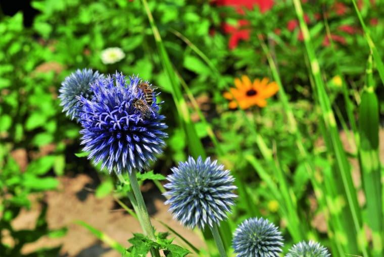 Pszczoła miodna na przegorzanie...