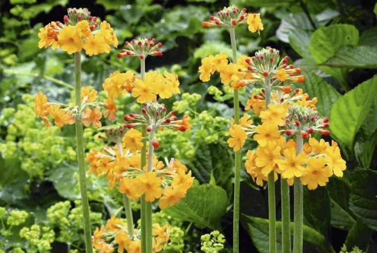 PIERWIOSNEK BULLEYA kwitnie pomarańczowo w maju i czerwcu osiągając 20-30 cm wysokości.