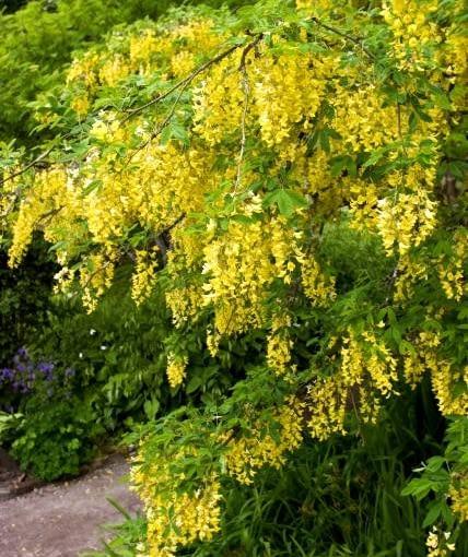 Długie grona kwiatów złotokapu sprawiają, że ten wysoki (5 m) krzew prezentuje się bardzo efektownie.