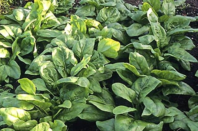 Szpinak warzywny (Spinacia oleracea) jest jednym z najstarszych warzyw, znanych już od czasów starożytnych u góry