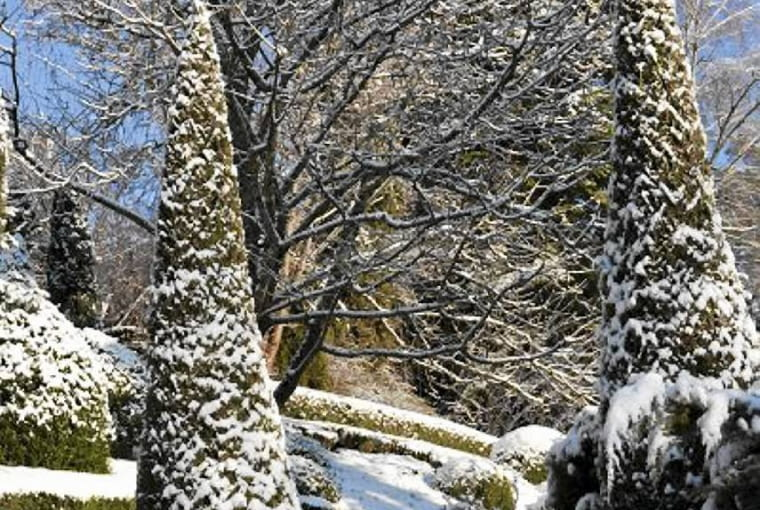 Buxus sempervirens and Thuja occidentalis 'Smaragd' covered in snow