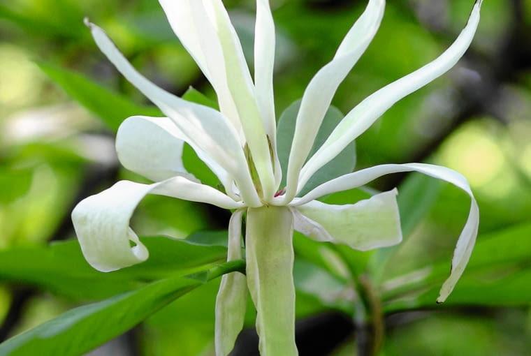 Magnolia tripetala SLOWA KLUCZOWE: Drzewa liściaste