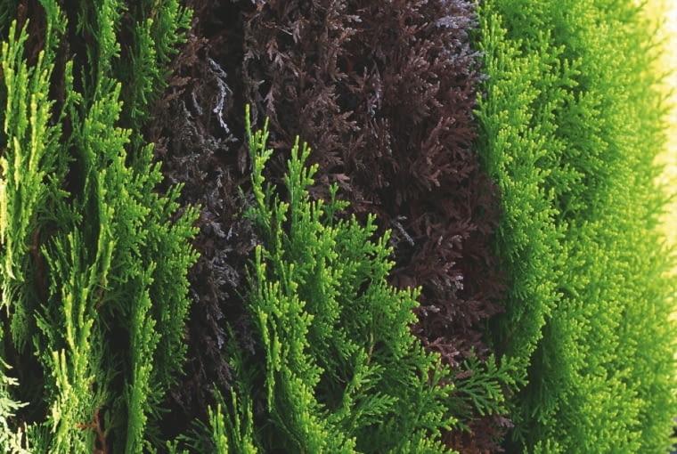 BRĄZOWOCZERWONE NEKROZY na pędach bioty. Przyczyna: fytoftoroza.