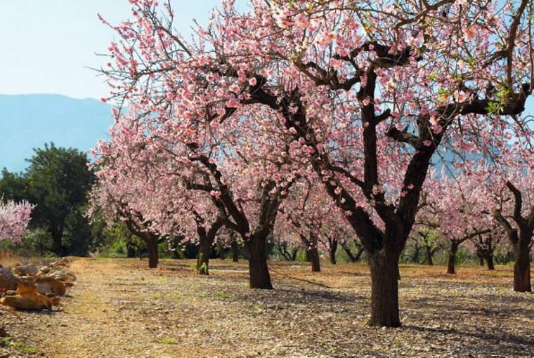 Na Bliskim Wschodzie drzewa migdałowca zakwitają bardzo wcześnie, już w lutym-marcu. Na zdjęciu sad migdałowy