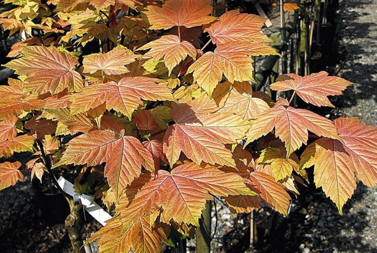 'Brilantissimum' jest idealny do mniejszych ogrodów, jego kulista korona ma ok. 4 m średnicy. Młode liście są różowe, potem złote, z zieloną podszewką