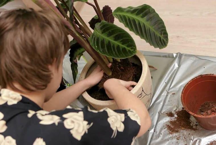 Przesadzanie roślin. Na dno nowej doniczki sypiemy warstwę drenażu i trochę ziemi. Wstawiamy bryłę korzeniową, obsypujemy ją dokoła ziemią. Podlewamy równomiernie.