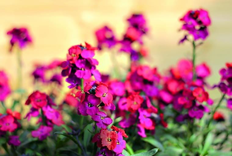 """Lak ma również odmiany o kwiatach w odcieniach czerwieni i fioletu. Na zdjęciu """"Bowles Mauve""""."""