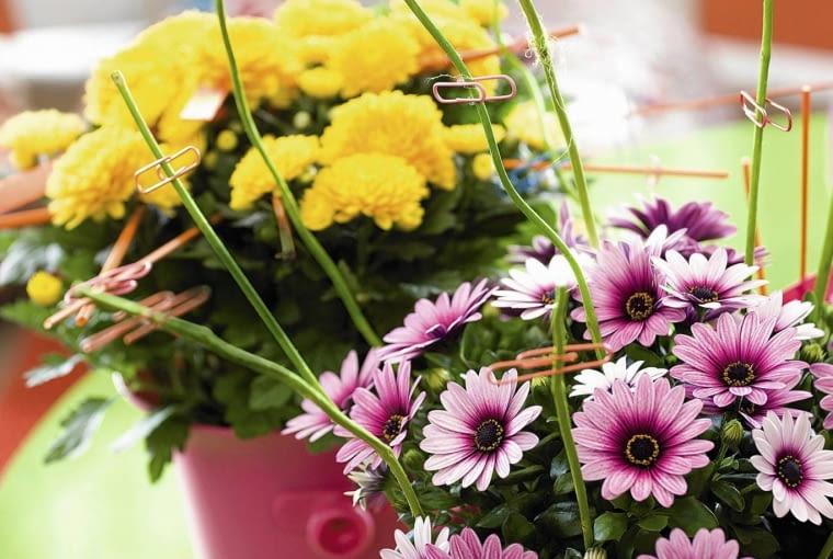 SLOWA KLUCZOWE: hp0310 inspiration anregungen osteospermum chrysanthemum